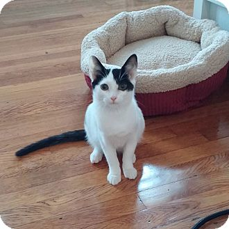 American Shorthair Cat for adoption in New York, New York - Jerry