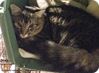 Domestic Longhair Cat for adoption in Muskegon, Michigan - stephen