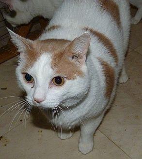 Domestic Shorthair Cat for adoption in Stafford, Virginia - Vinny