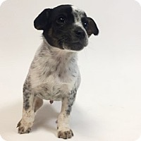 Adopt A Pet :: Confetti - Show Low, AZ