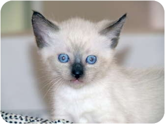 Siamese Kitten for adoption in La Jolla, California - Bailey