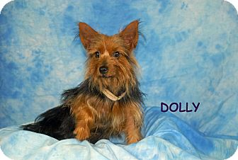 Yorkie, Yorkshire Terrier Mix Dog for adoption in Ft. Myers, Florida - Dolly