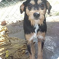 Adopt A Pet :: Scruffy- IN CT - West Hartford, CT