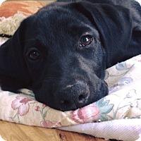 Adopt A Pet :: Asher - Albemarle, NC