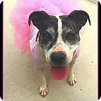 Adopt A Pet :: DIZZY - Arlington, VA