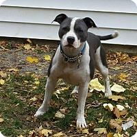 Adopt A Pet :: Toony - Eastpointe, MI