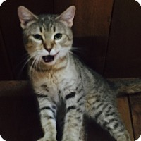 Adopt A Pet :: Isabella (Bengal/Pixie-bob) - Witter, AR
