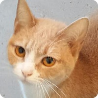 Domestic Shorthair Cat for adoption in Colfax, Iowa - Misty