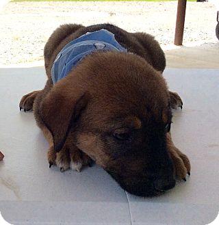 Rottweiler/Labrador Retriever Mix Puppy for adoption in Albany, New York - Frankie