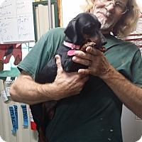 Adopt A Pet :: LUNA - Lubbock, TX
