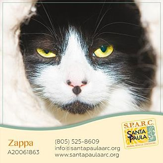 Domestic Longhair Cat for adoption in Santa Paula, California - Zappa