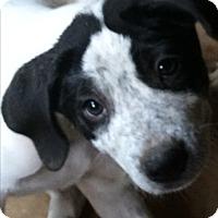 Adopt A Pet :: Suzy Speckles~ meet me! - Glastonbury, CT