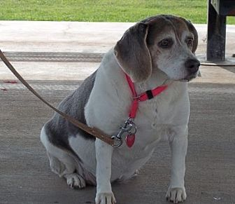 Beagle Dog for adoption in Albuquerque, New Mexico - Sweet Sharpay