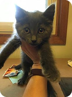 Domestic Shorthair Kitten for adoption in Princeton, Minnesota - Lava