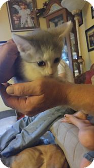 Domestic Shorthair Kitten for adoption in Baltimore, Maryland - .Macy