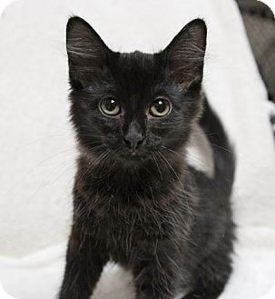 Domestic Shorthair Kitten for adoption in Dallas, Texas - NEWBEE