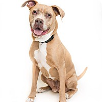 Adopt A Pet :: Goliath - Reisterstown, MD