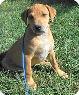 Basset Hound/Labrador Retriever Mix Puppy for adoption in Allentown, New Jersey - Walt