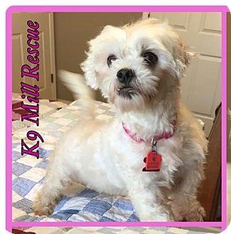 Maltese/Poodle (Miniature) Mix Dog for adoption in Hurst, Texas - Erin