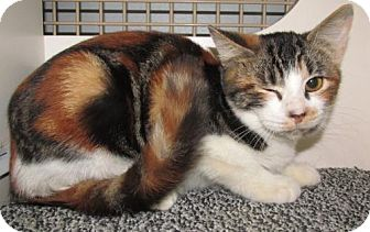 Calico Kitten for adoption in Conroe, Texas - Pixie3