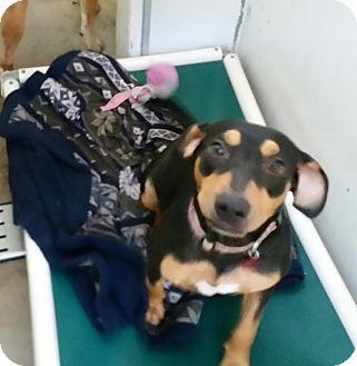 Hound (Unknown Type) Mix Dog for adoption in Chippewa Falls, Wisconsin - Mercedes