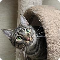 Domestic Shorthair Cat for adoption in Stockton, California - Jade