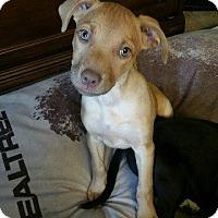 Adopt A Pet :: Ginger - Little Rock, AR