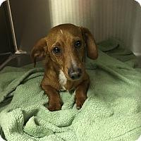 Adopt A Pet :: Cooper - Clarksville, TN