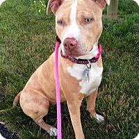 Catahoula Leopard Dog/Pit Bull Terrier Mix Dog for adoption in Dayton, Ohio - Sunny
