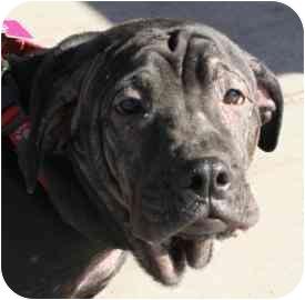 Shar Pei Mix Dog for adoption in tucson, Arizona - Sam