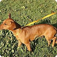 Adopt A Pet :: Poncho - Conway, AR