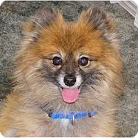 Adopt A Pet :: JOEY - Hesperus, CO