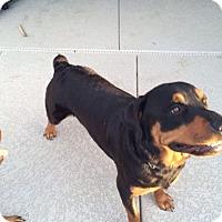 Adopt A Pet :: Zukko - Gilbert, AZ