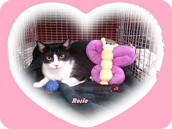 Domestic Shorthair Cat for adoption in Alamo, California - Rosie