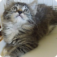 Domestic Mediumhair Kitten for adoption in Makawao, Hawaii - Fluff