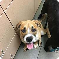 Adopt A Pet :: Dexter - Brattleboro, VT