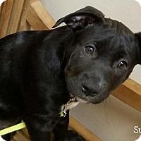 Adopt A Pet :: Susie - Conroe, TX