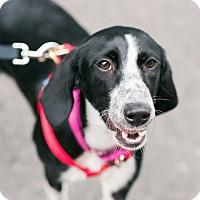 Adopt A Pet :: Rosemary Clooney - Jersey City, NJ