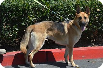 German Shepherd Dog Dog for adoption in San Diego, California - Bella