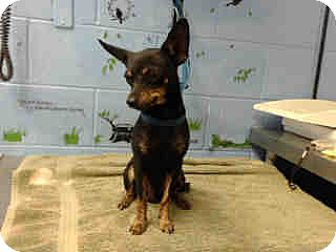 Chihuahua Dog for adoption in San Bernardino, California - URGENT ON 9/30  San Bernardino