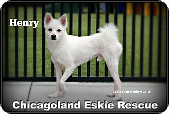 Spitz (Unknown Type, Small) Dog for adoption in Elmhurst, Illinois - Henry