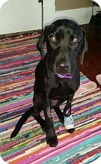 Labrador Retriever Mix Dog for adoption in Murphysboro, Illinois - AnnaBelle