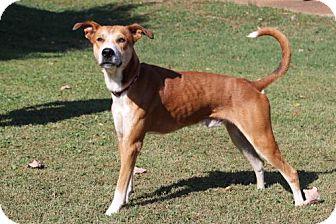 Basenji/Hound (Unknown Type) Mix Dog for adoption in Washington, D.C. - GILLIGAN LAW