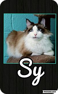 Snowshoe Cat for adoption in Edwards AFB, California - Sy