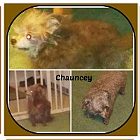 Chihuahua Mix Dog for adoption in Malvern, Arkansas - CHAUNCEY