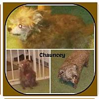 Adopt A Pet :: CHAUNCEY - Malvern, AR