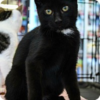 Domestic Shorthair Kitten for adoption in Wayne, New Jersey - KT