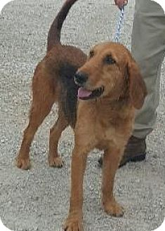 Airedale Terrier/Hound (Unknown Type) Mix Dog for adoption in West Milford, New Jersey - JEWEL-pending