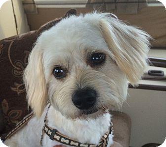 Mastiff/Shih Tzu Mix Dog for adoption in Ypsilanti, Michigan - Corey