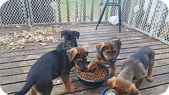 German Shepherd Dog/Doberman Pinscher Mix Puppy for adoption in Antioch, Illinois - Martin (M) and Mary (F)